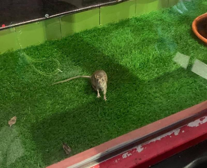 牛排館櫥窗內出現老鼠,令用餐民眾感到「貼心」。(圖取自爆怨公社)