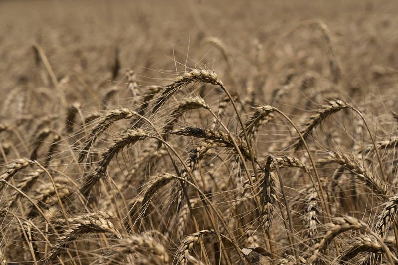中國境內爆發「小麥莖基腐病」,白穗率高達3至5成。麥田示意圖。(彭博檔案照)