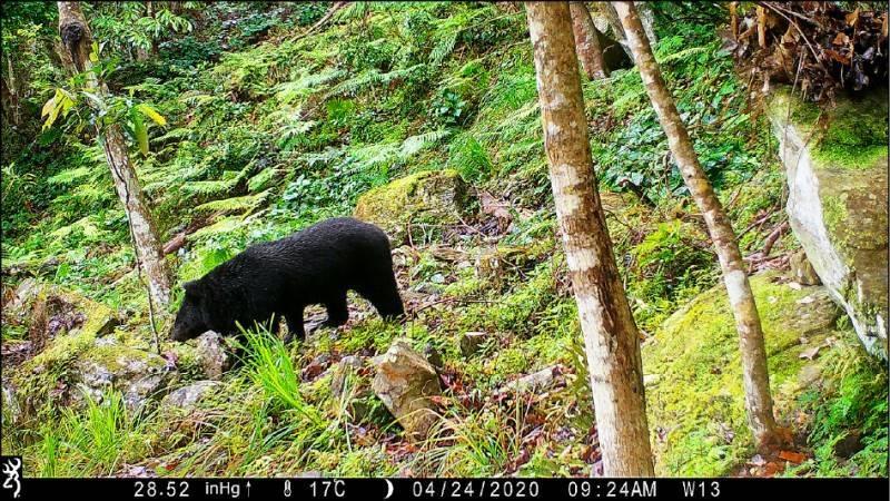台灣黑熊示意圖,與文無關。(玉管處提供)