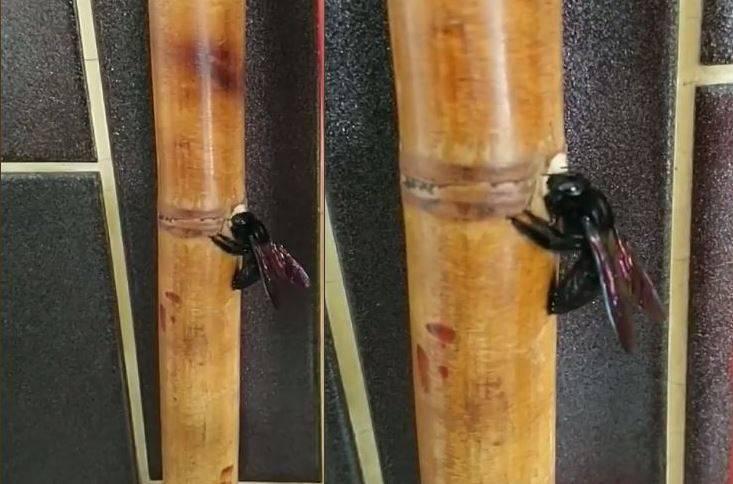 有網友分享一段影片,表示一隻體型約2公分的黑蟲不斷啃食家中竹掃把,不但啃了一個洞,最後還直接鑽進去,讓他傻眼直呼「這是那種昆蟲啊?」就有眼尖網友認出牠是別稱竹蜂的黑翅木蜂。(圖擷取自臉書「爆廢公社二館」)
