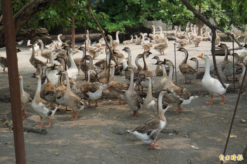 肉鵝復養逐漸復甦,產量已達往年的一半。(記者詹士弘攝)