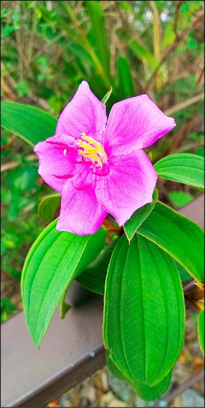 九九峰步道上的原生種台灣野牡丹,美麗的花朵吸引一群種樹義工上山增植台灣野牡丹。(陳國大提供)