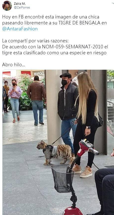近日有網友PO出一張照片,一名金色長髮女子牽著寵物在墨西哥的購物中心逛街,那隻寵物竟是一頭幼虎。(圖翻攝自推特)