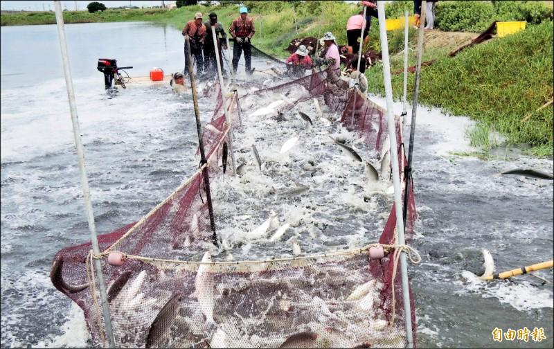 台南市虱目魚開始捕撈,目前產地池邊價低於去年同期。(記者楊金城攝)