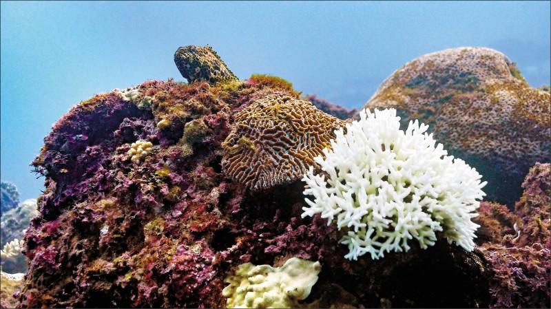 台灣週遭海域的珊瑚正面臨20年來最大規模的白化危機,恐嚴重衝擊海洋生態。