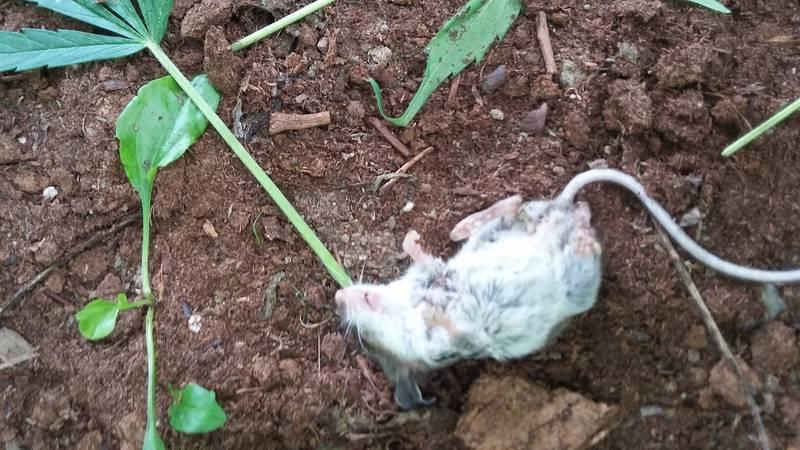 加拿大一位民眾在家栽種大麻葉,未料有隻小老鼠闖入連2天啃食大麻葉,最後竟嗨到升天昏迷。(圖擷取自Colin Sullivan臉書)