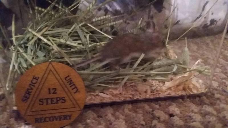 小老鼠勒戒成功,蘇利文頒給牠戒毒成功小獎章。(圖擷取自Colin Sullivan臉書)