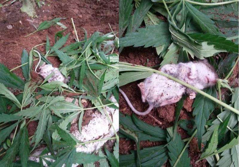 小老鼠神智不清翻肚躺在大麻葉片中。(圖擷取自Colin Sullivan臉書)
