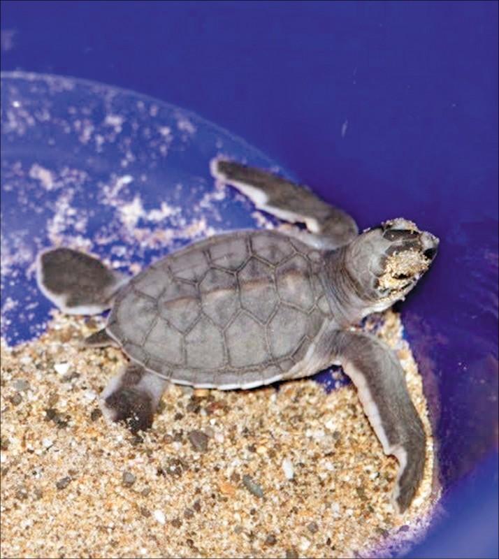 今年蘭嶼及小琉球海龜卵窩數量,為近年最多。圖為今年在墾丁大灣地區發現的小海龜。(記者洪定宏翻攝)