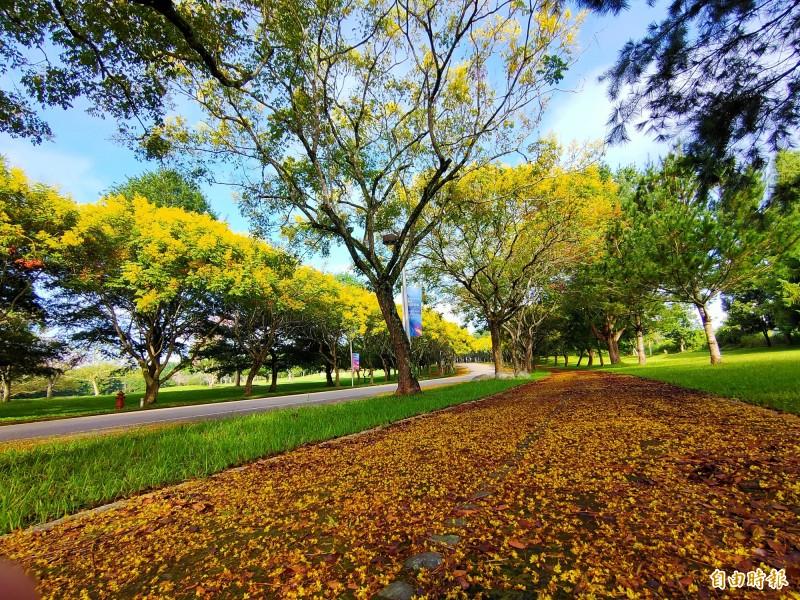 正值花期的台灣欒樹開滿金黃色花朵,金黃色花穗鋪滿整條道路。(記者佟振國攝)
