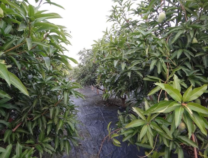 彰化田中日前出現果園竊賊,每到入夜芒果就遭竊。(記者陳冠備翻攝)