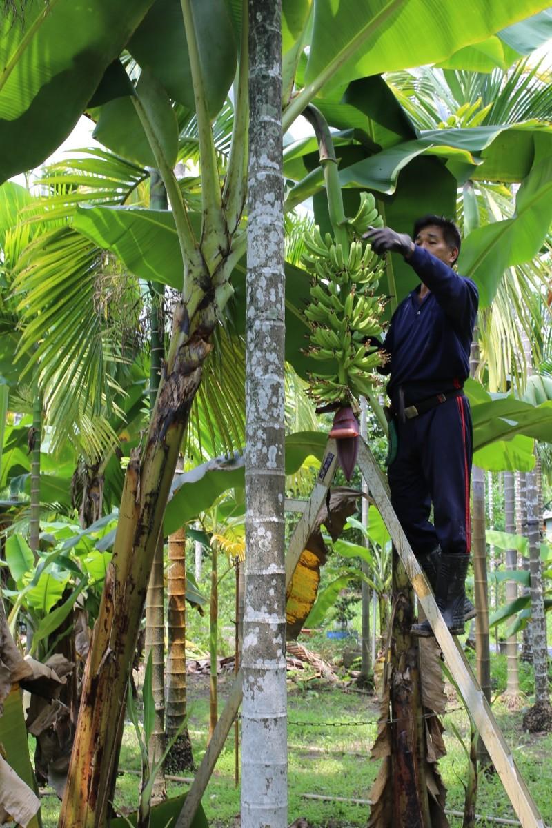 民俗月香蕉被視為禁忌,間接影響香蕉價格,屏東縣政府農業處指出,目前產地價格低迷應屬短期現象,預估天氣轉涼後就能迎來好「蕉」情。(記者邱芷柔攝)