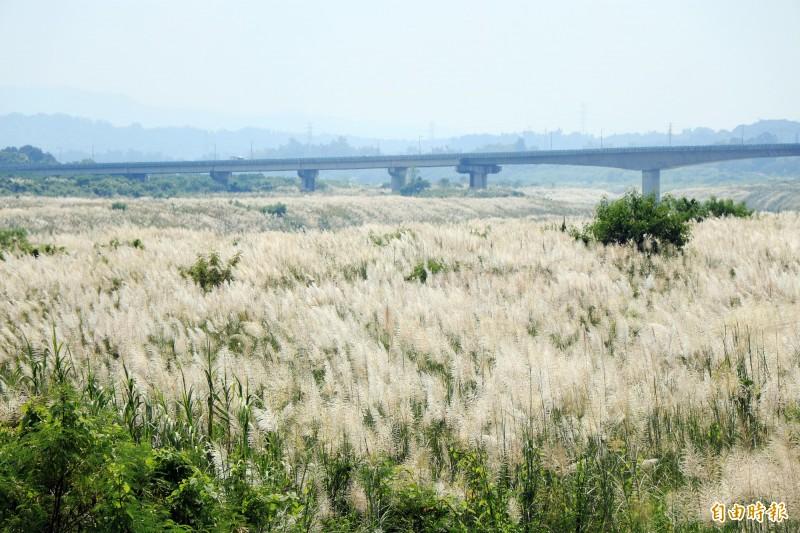 台南大內甜根子草花季來臨,盛開的花況彷彿在曾文溪畔覆蓋一層秋雪。(記者萬于甄攝)