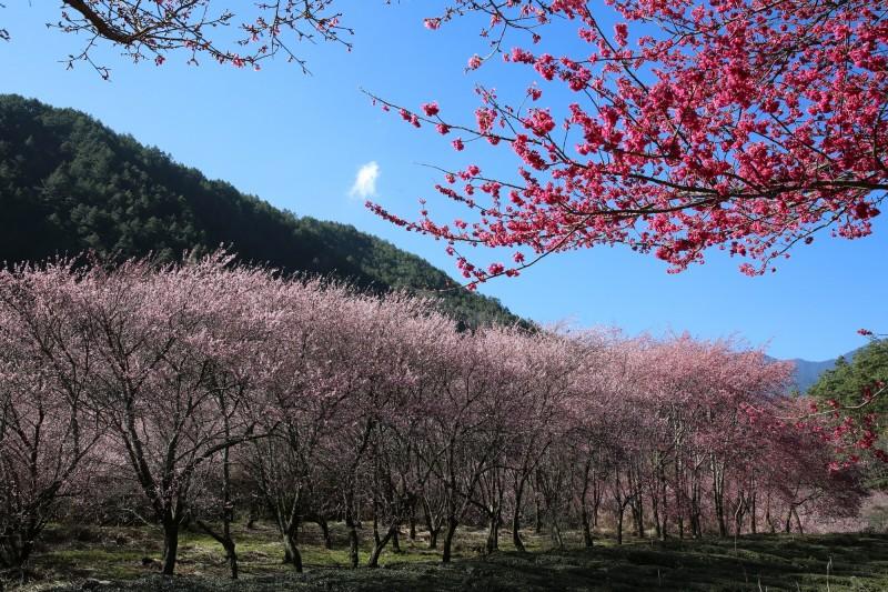 武陵農場櫻花盛開。(記者張軒哲翻攝)