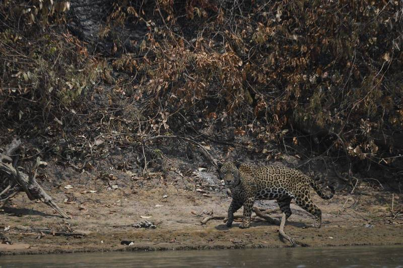 位於巴西中西部的一處大沼澤因森林火災持續蔓延,已有超過230萬公頃的林地被燒毀,受此影響位於該處的美洲虎及其他物種的生存均遭受嚴重威脅。圖為一隻受傷的美洲虎。(法新社)
