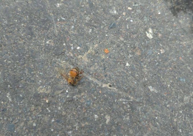 一名網友在臉書社團透露,自己在騎車的途中大腿突然一陣劇痛,下一秒就發現自己腿上插著蜜蜂的尾針。(圖取自爆廢公社)