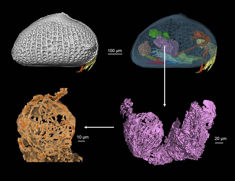 古生物學團隊表示,發現了他們認為是世界上最古老的動物精子,就藏在1億年前封存於緬甸琥珀中的小型甲殼類動物體內。(法新社)