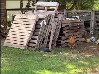追逐一段時間後,狗偷偷繞到雞的背後。(圖擷自爆廢公社)