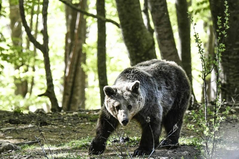 野熊被工作人員發現啃食著男子屍塊,最後遭到安樂死。示意圖非當事熊。(法新社)