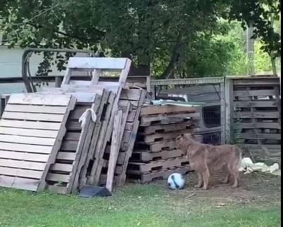 雞躲起來正偷偷繞到狗的背後。(圖擷自爆廢公社)
