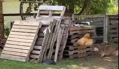 雞被嚇到飛起來。(圖擷自爆廢公社)