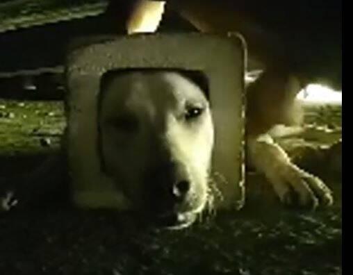 台南這隻流浪狗戴著石磚,幸好最後被志工解開。(擷自「台南市流浪動物愛護協會」臉書)