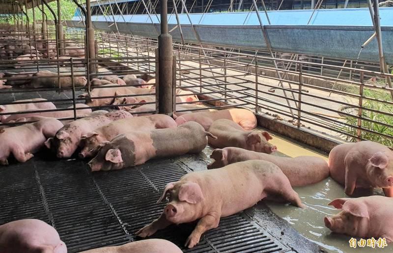 養豬業者最關切的是產銷調節,將成為明天「研商妥善運用百億基金推動養豬產業全面升級座談會」的焦點。(資料照,記者楊金城攝)
