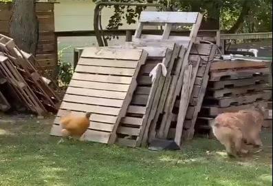 一開始雞在追狗。(圖擷自爆廢公社)