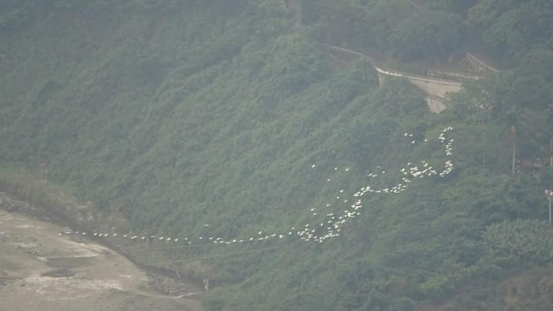 古坑樟湖山區可見成群結隊黃頭鷺飛翔遷徙,壯觀景象民眾驚呼像隻白龍。(廖啟聰提供)