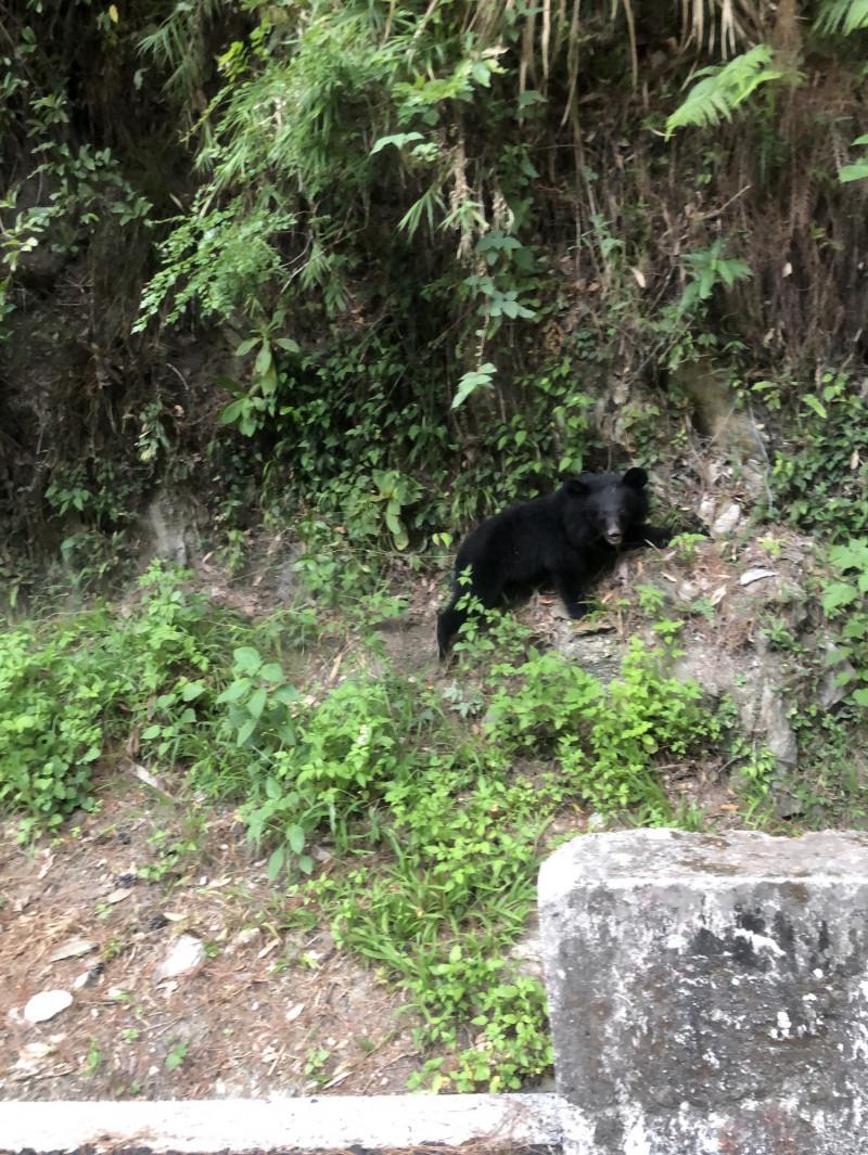 從山壁滑落再奮力往上爬,現蹤台灣黑熊模樣超萌。(記者陳賢義翻攝)