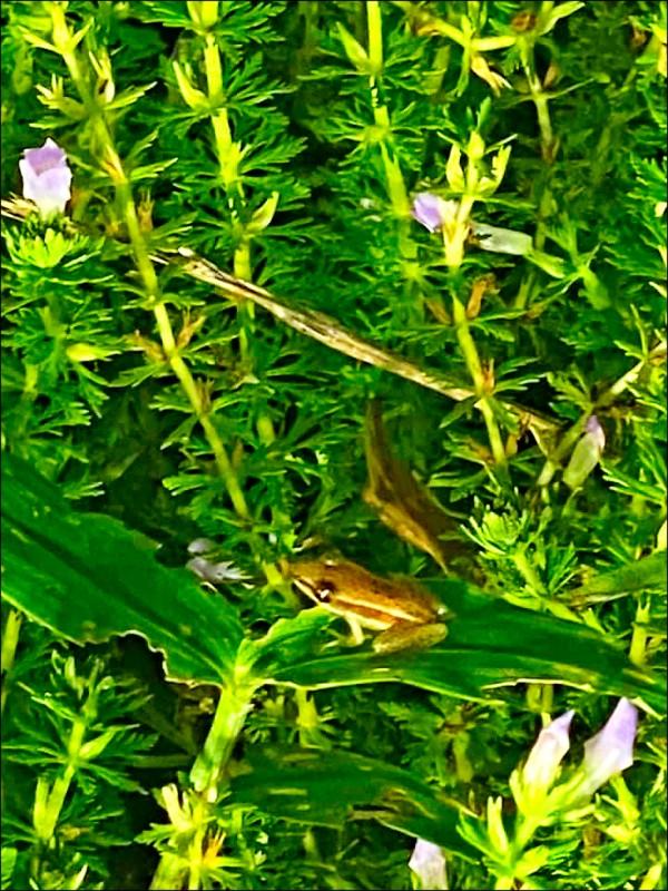 高榮野生動物保護區經8年復育,台北赤蛙數量穩定成長。(記者許倬勛翻攝)
