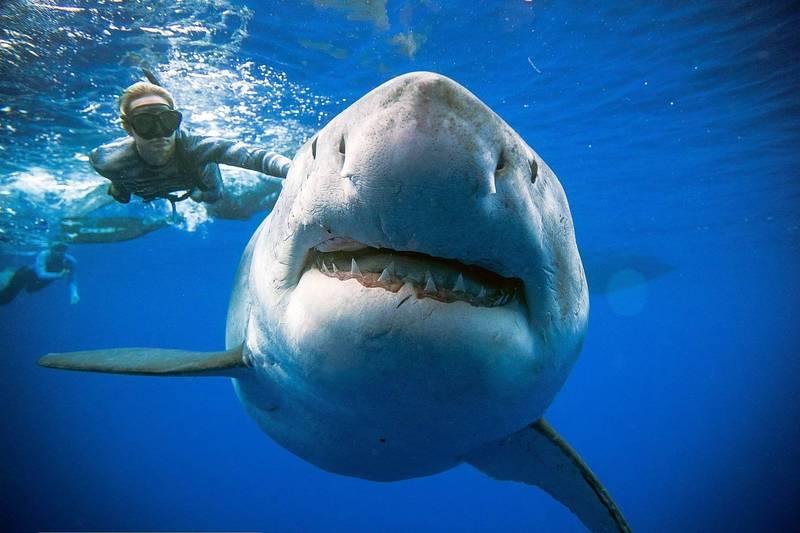 南非海邊先前有6頭大白鯊遺體被沖上岸,經過解剖後顯示牠們是被虎鯨撕開身體吃掉肝臟。大白鯊示意圖。(法新社)