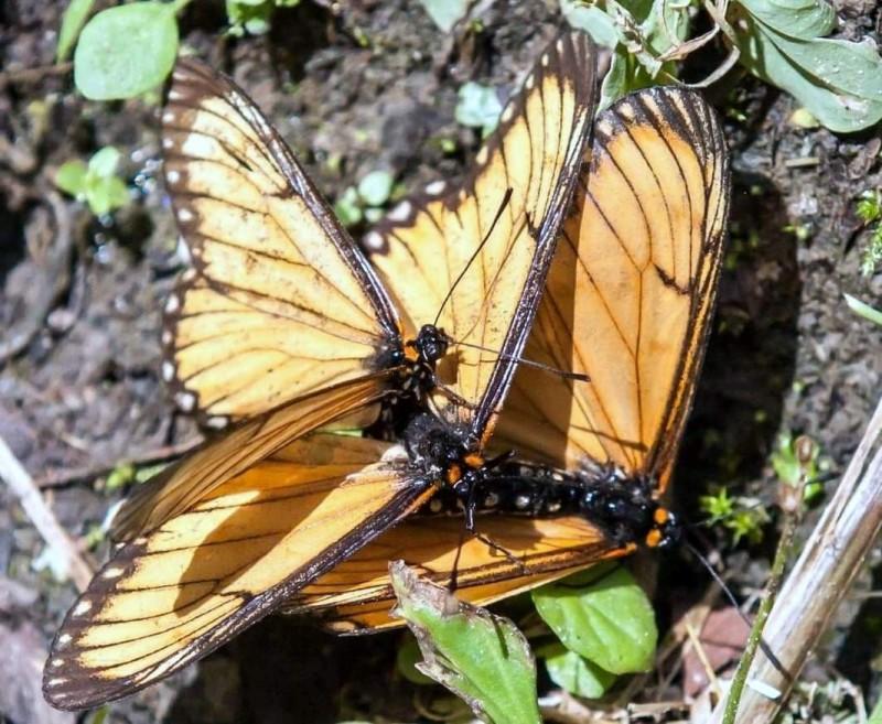 溪頭野外赫見蝴蝶「3p」激情的情景。(圖由曾姓民眾提供)