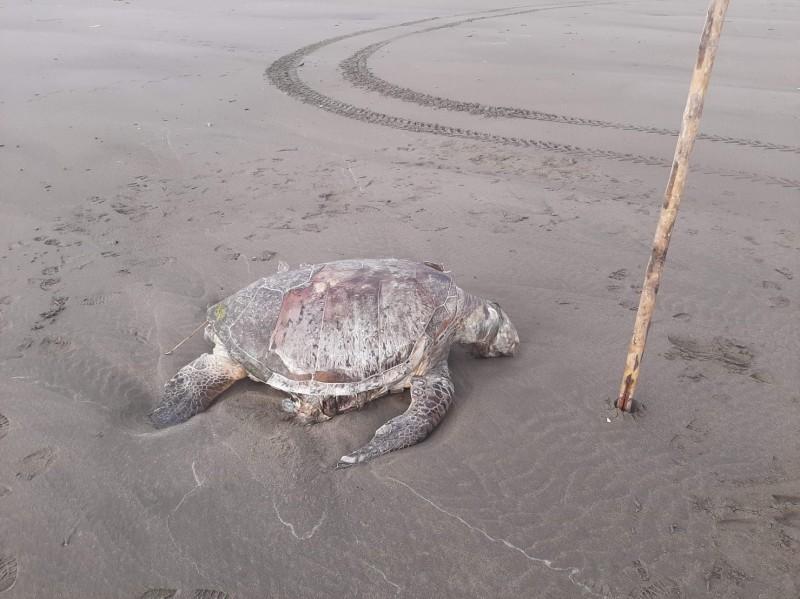 圖為死亡保育類綠蠵龜。(海巡署提供)