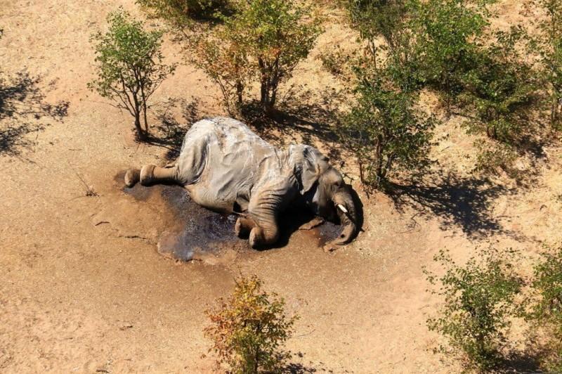 非洲波札那「大象死亡潮」的詭異謎團終於揭曉,這些大象是因為喝的水含有藍綠藻神經毒素而暴斃。(路透)