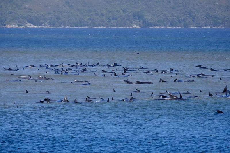 澳洲塔斯馬尼亞州西海岸約有270頭領航鯨擱淺。(路透)