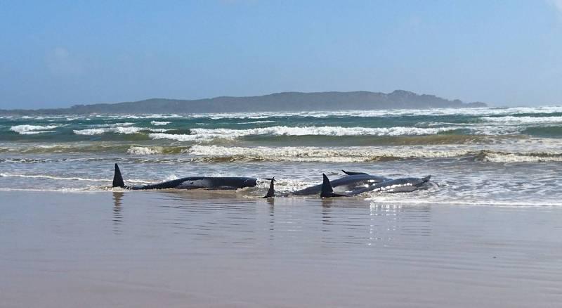 澳洲領航鯨擱淺。(法新社)