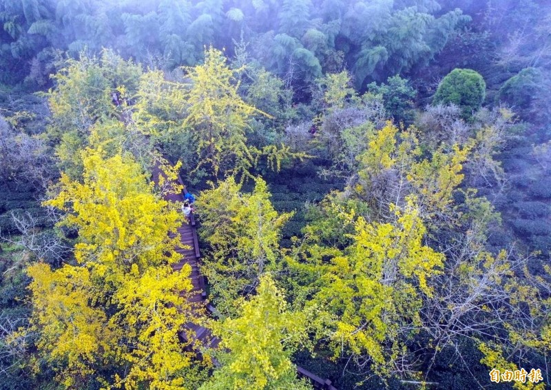 南投縣鹿谷鄉大崙山銀杏造林區的銀杏樹,目前正上演由翠綠轉變為金黃的換裝秀。(記者謝介裕攝)