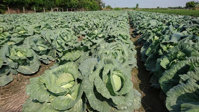 高麗菜種植數量亮紅色警戒,農糧署提醒農民,分散種植以保障收益。(農委會提供)