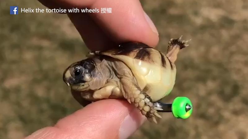 Helix離世仍受到許多人懷念。(Facebook Helix the tortoise with wheels 授權)