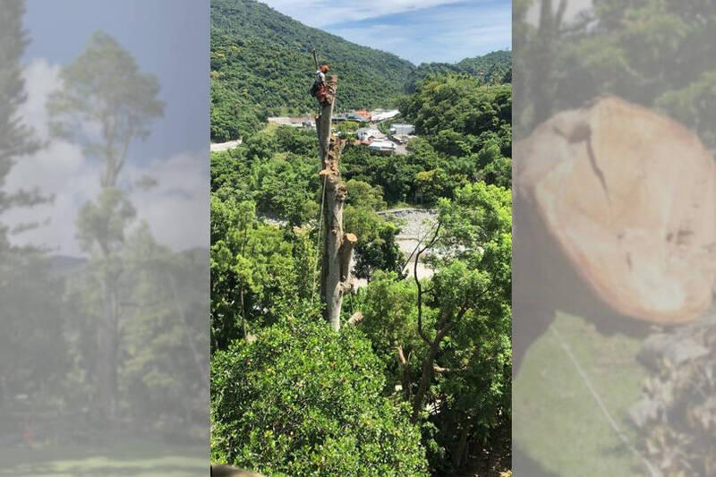 從天空往地面鋸危樹,單人懸空35公尺高樹頂。(本報合成)