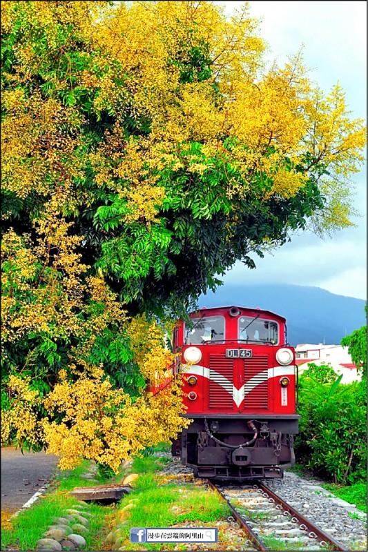 台灣欒樹與阿里山林鐵小火車限定美景。(黃源明提供)