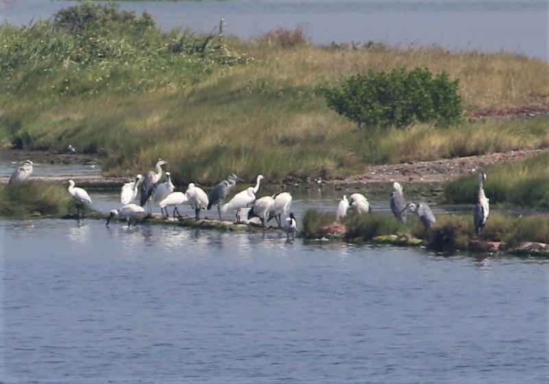 黑面琵鷺到嘉義南布袋鹽田濕地報到。(蘇銀添提供)
