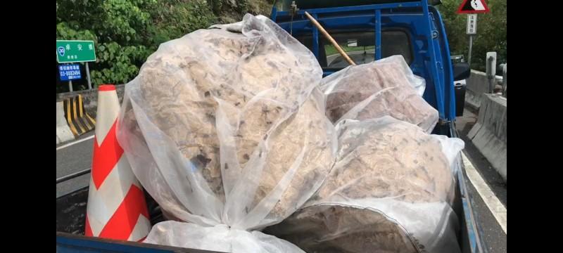 現場摘除3顆巨大的黑腹虎頭蜂蜂巢,最大一顆直徑超過1公尺。(林務局提供)