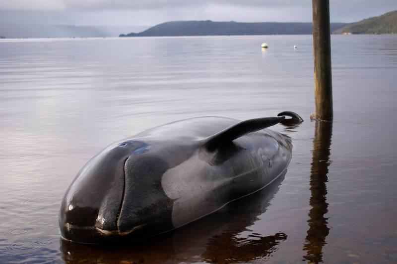 澳洲塔斯馬尼亞上周有大批領航鯨擱淺,今日最後一頭獲救後,倖存鯨魚數量達到110頭,政府將把重點轉向處理約360具鯨屍。圖為在偏遠海港地區擱淺死亡的領航鯨。(法新社)