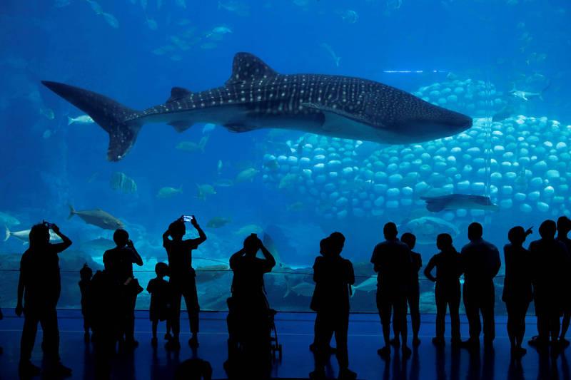 美國有鯊魚保育團體推估,光是製造提供給美國使用的疫苗量,恐就要殺死超過2.1萬條鯊魚,若是全世界範圍,「可能要殺害25萬條鯊魚」。圖為鯊魚中體型最大的鯨鯊。(路透)