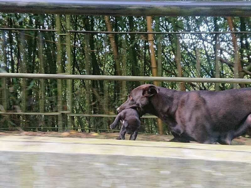 嘉義縣阿里山旁番路鄉一隻流浪黑狗媽媽,產下8隻小狗後,一隻一隻叼到超過一公里遠的民宿求助。(十方山水民宿授權提供)