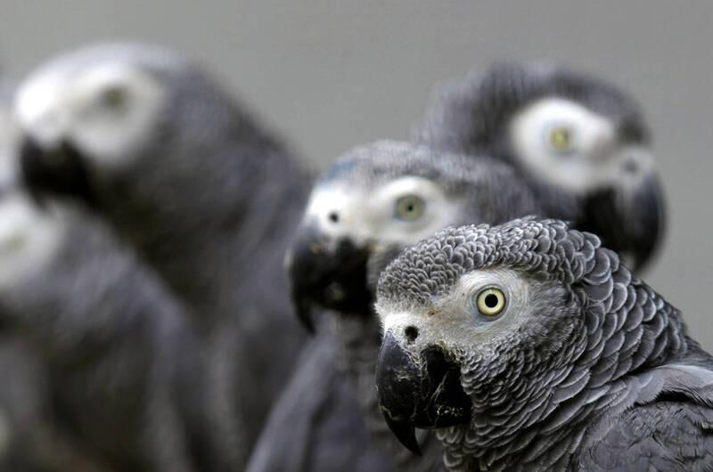 英國有5隻非洲灰鸚鵡被送進野生動物公園,豈料,牠們竟然會對彼此及遊客「出口成髒」。示意圖,非當事鸚鵡。(路透)