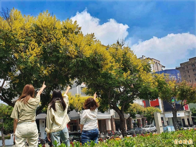 台中街頭台灣欒樹黃金綻放,入秋後滿樹黃花綻開,如黃金般耀眼,很是美麗。(記者蔡淑媛攝)