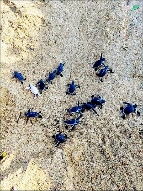 澎湖望安西安瀨灣仔沙灘,昨傳出誕生罕見的白子綠蠵龜寶寶。(圖:望安民眾提供)